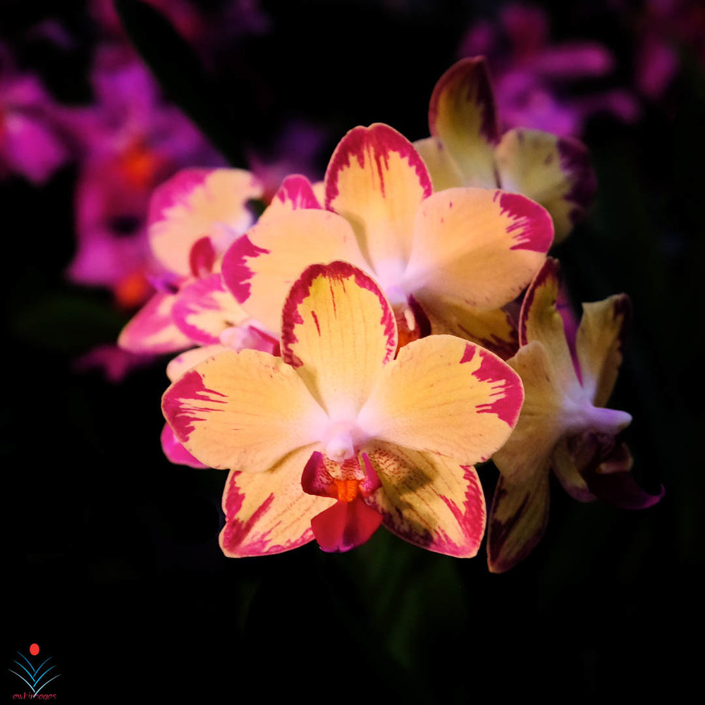 An Explosion of Orchid Color.jpg