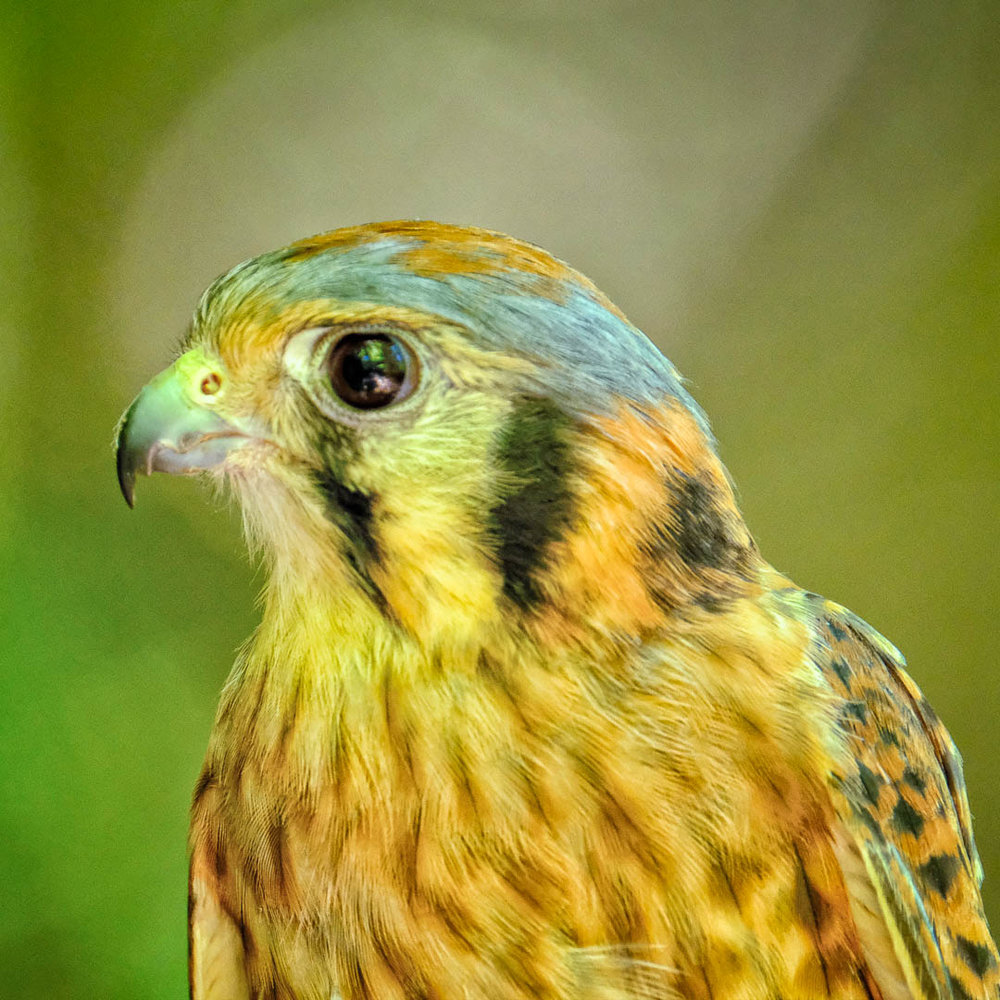 Kestral Portrait - Squam Lake