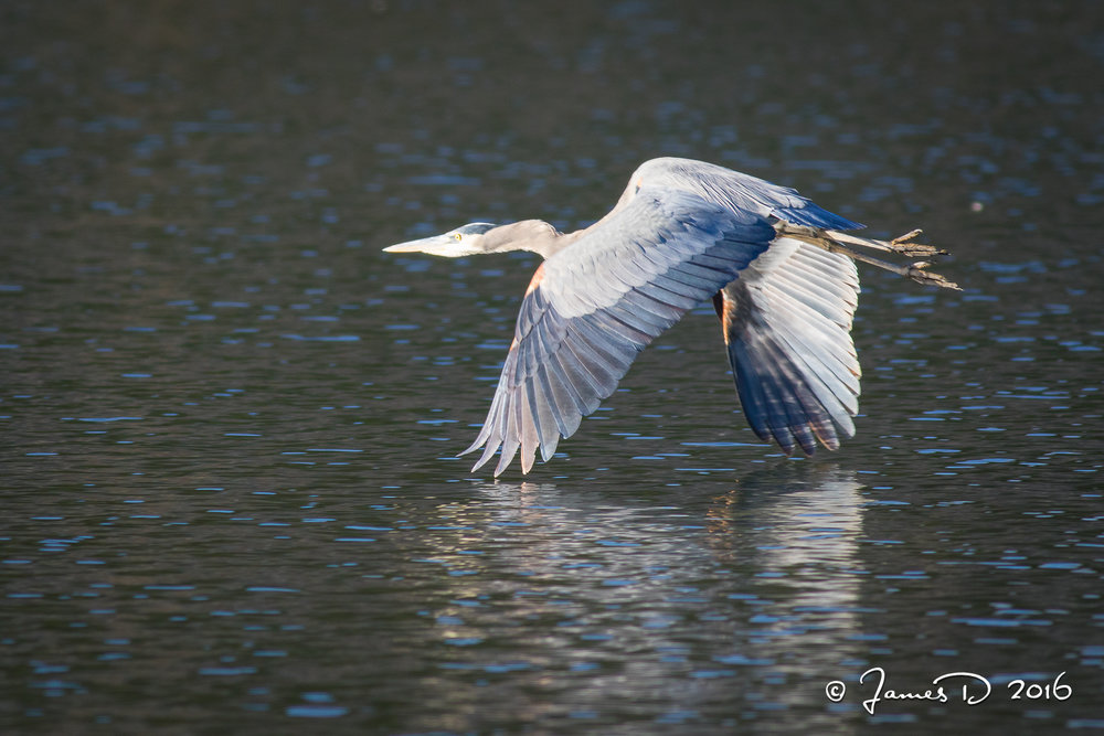 Heron in Flight 2016112001