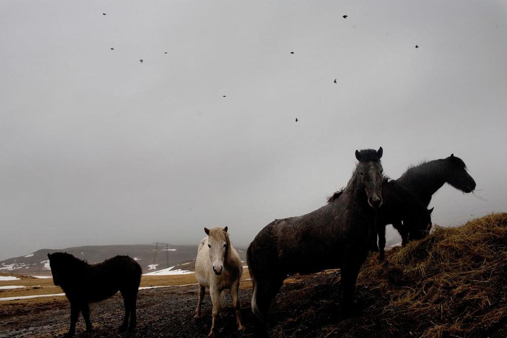 Icelandic horses in Hvalfjördur.  