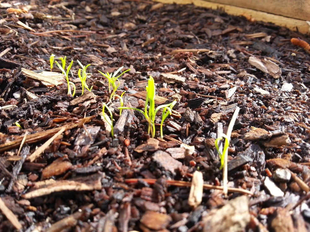 Carrot sprouts.
