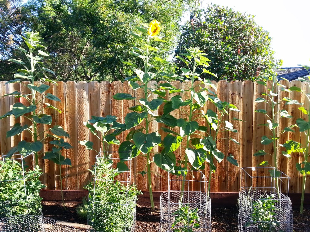 Tomatos, peppers and crazy tall sunflowers (the fence it 6').