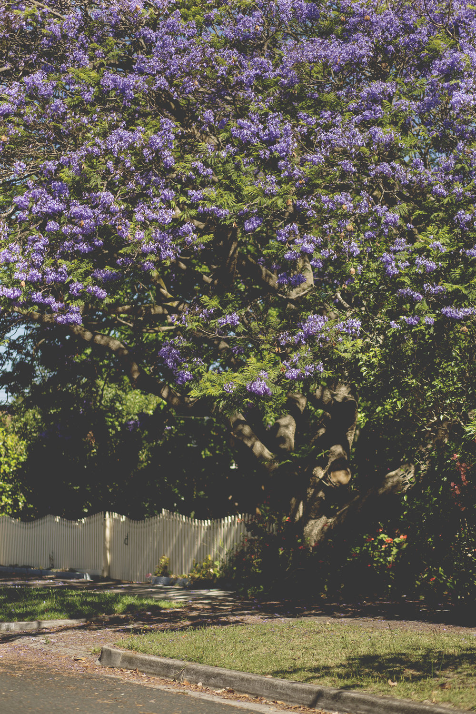 Photo of Jacaranda Tree!