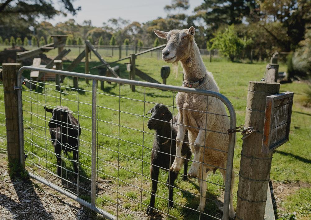Goats at Benton Rise Farm