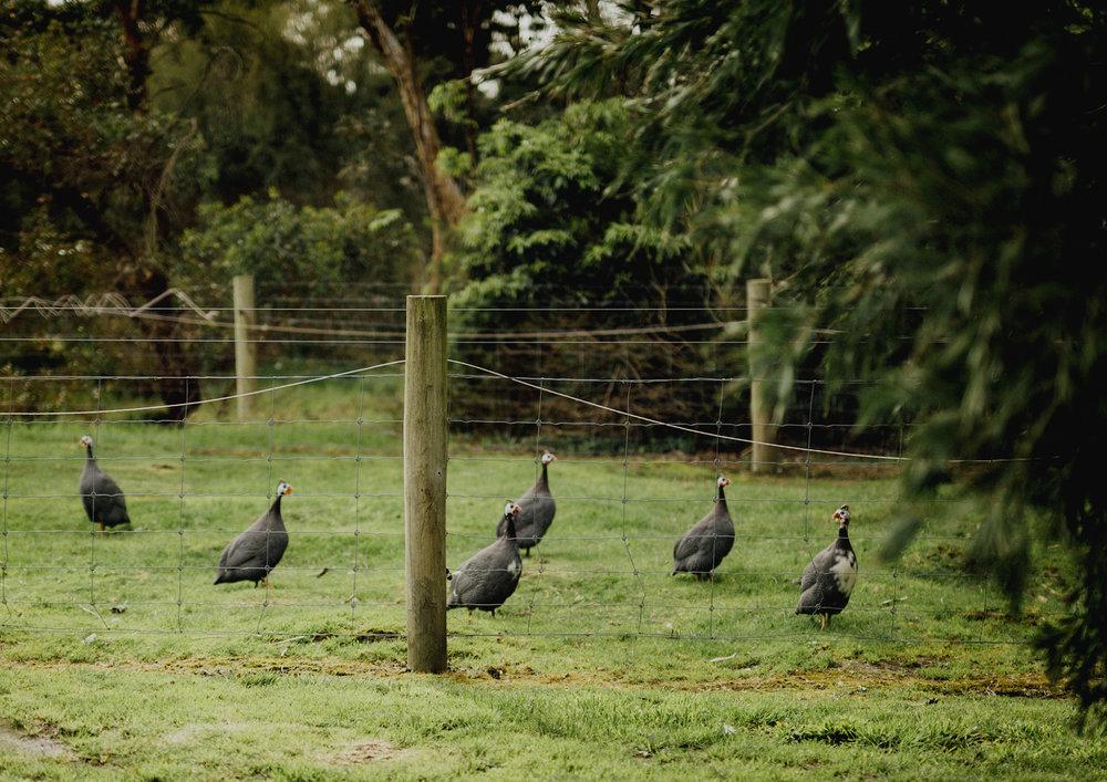 Guinea Fowls at Benton Rise Farm
