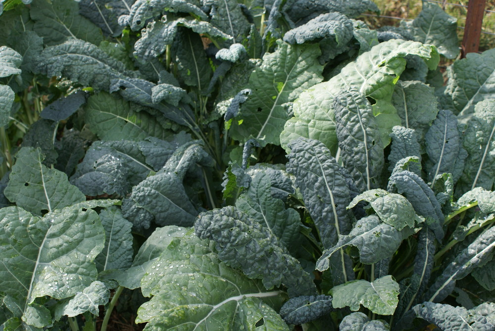 """Tuscan Kale - """"Cavolo Nero"""" The Most Nutrient Rich Health Kitchen"""