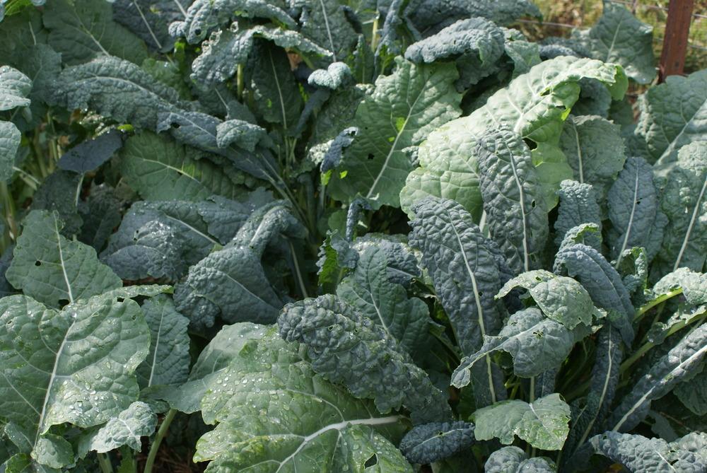 """Kale - """"Cavolo Nero"""""""