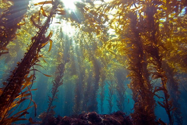 Kelp Is Rich In  - Natural Iodine