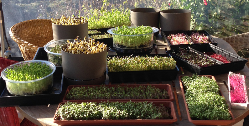 how to grow sprouts and microgreens