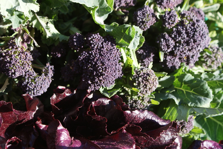 How to grow broccoli by Health Kitchen