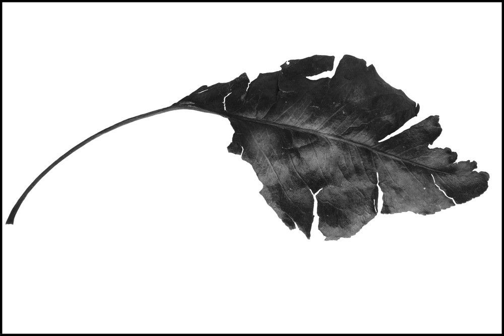 FOUND - a tattered leaf #1 (unwatermarked).jpg