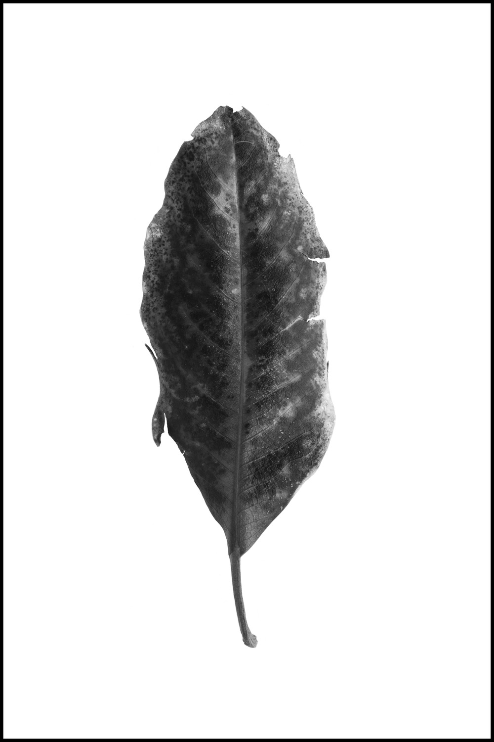 FOUND - a tattered leaf #2 (unwatermarked).jpg