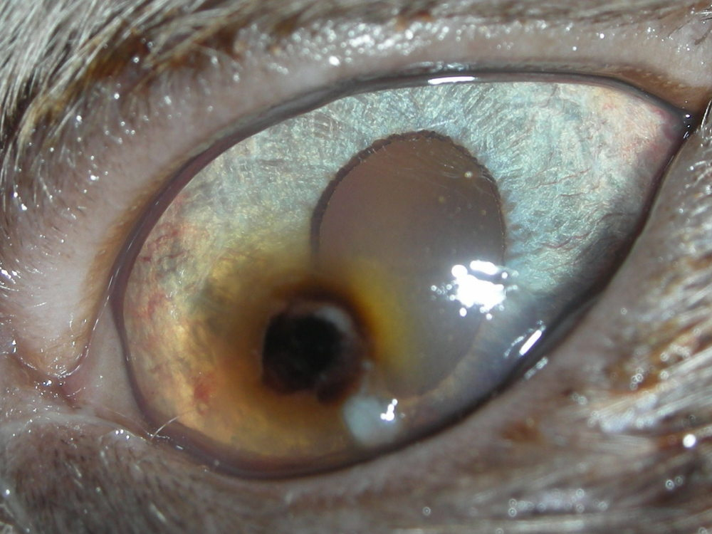 Corneal Sequestrum