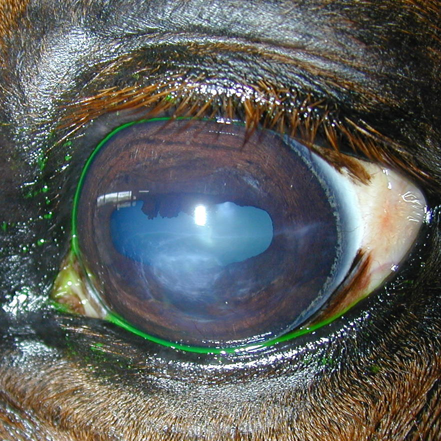 Equine Band Keratopathy