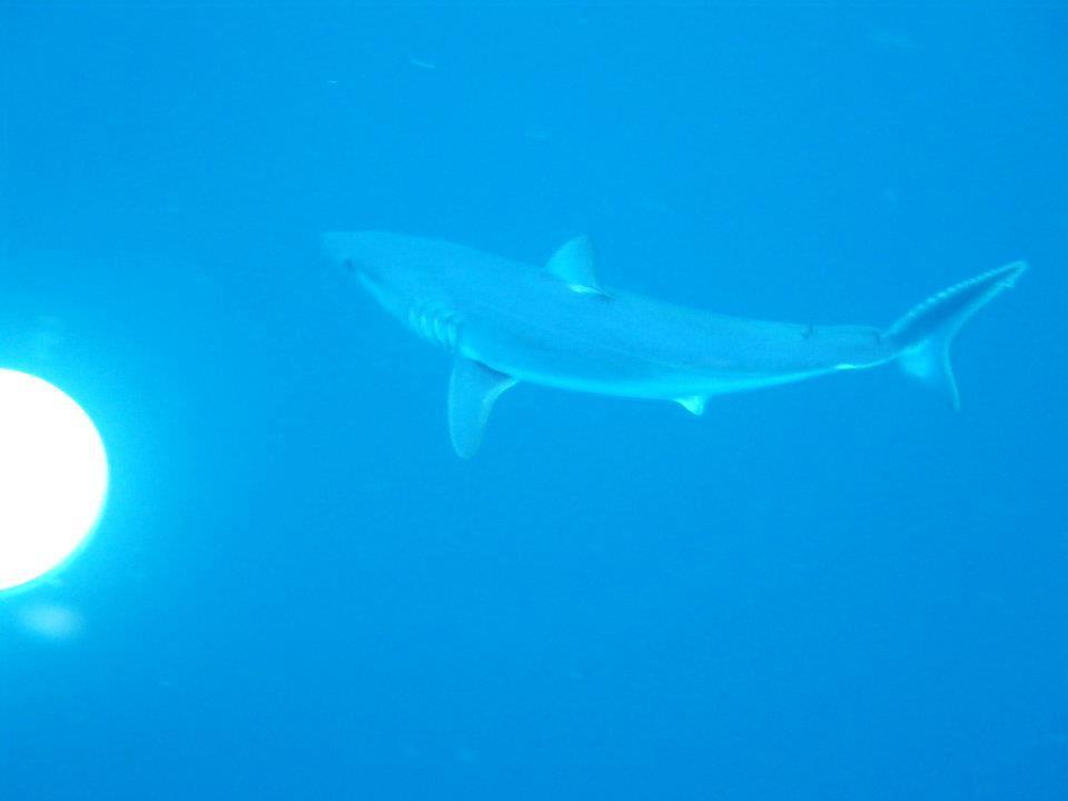 mako shark NZ.jpeg