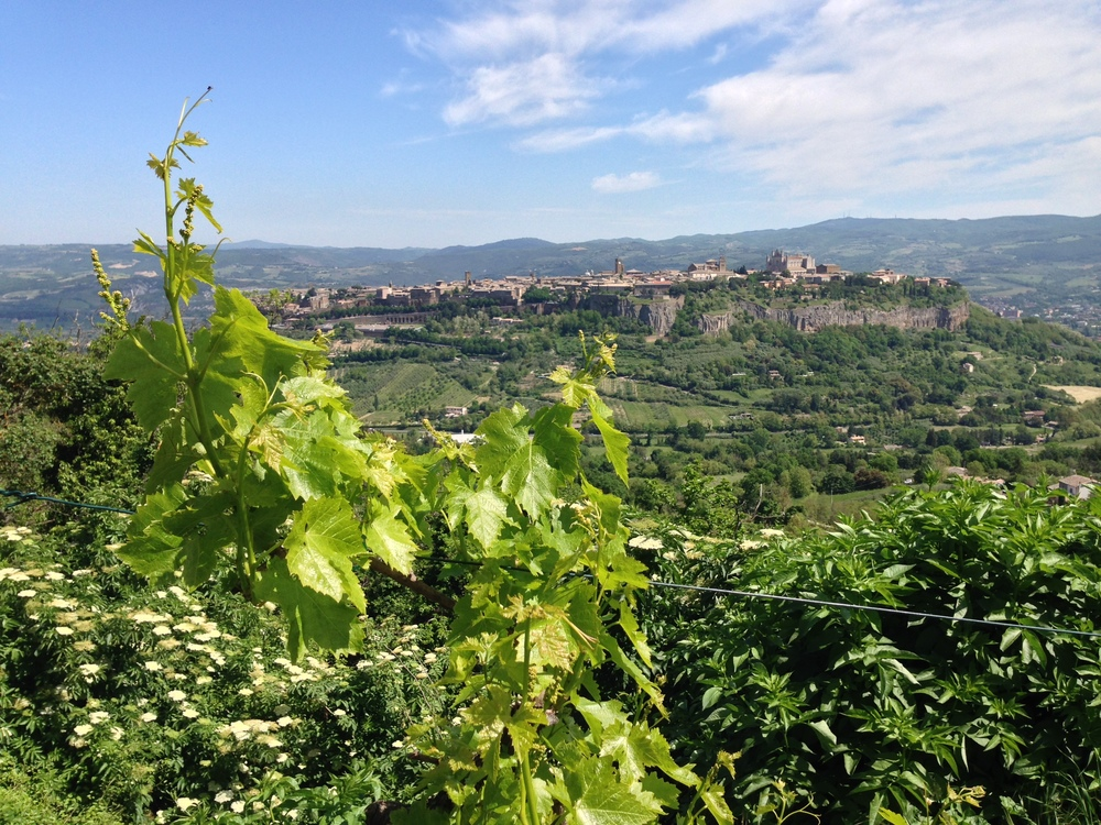Orvieto, Italy from the villa with acres of olive trees and grape vines.