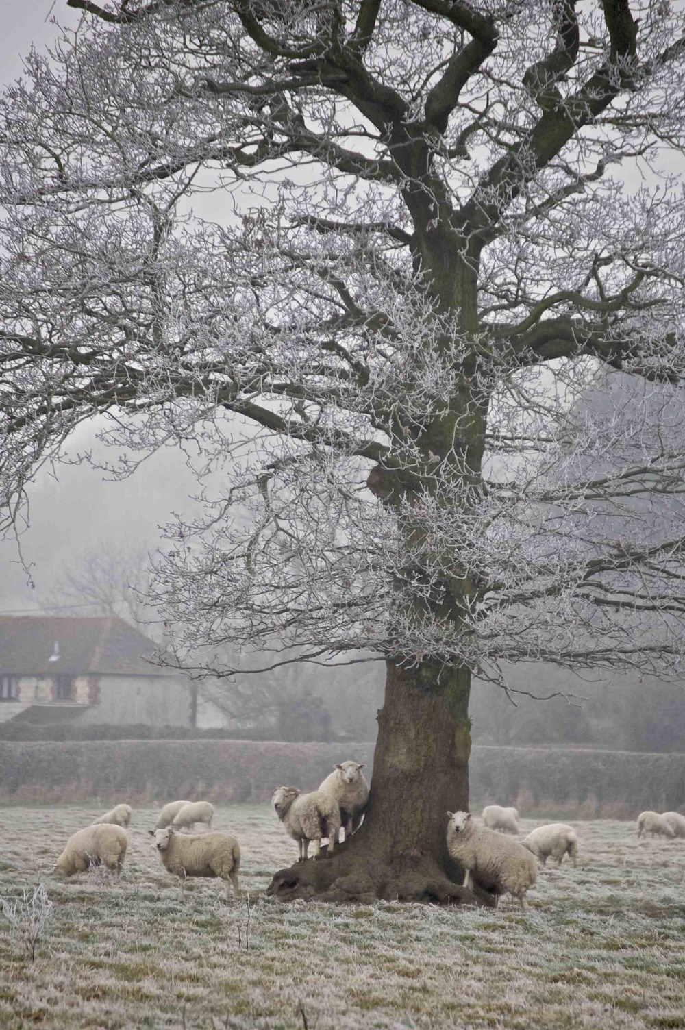Sheep under frosted tree