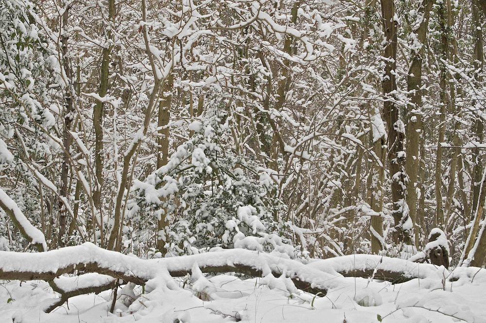 Snowy Wood 1