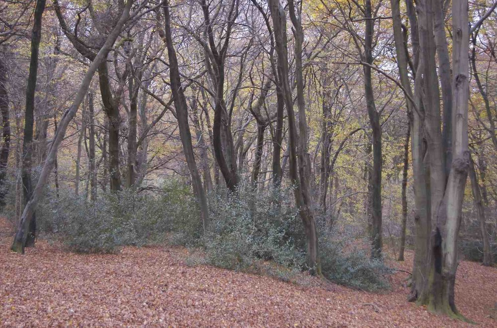 Woodland on Selborne Common 1