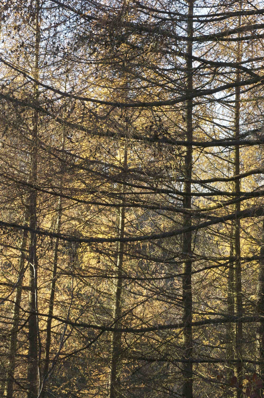 Larch Trees