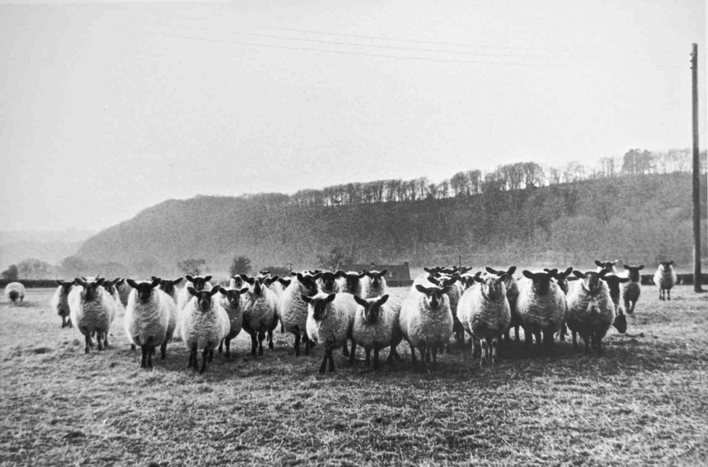 Sheep by Noar Hill