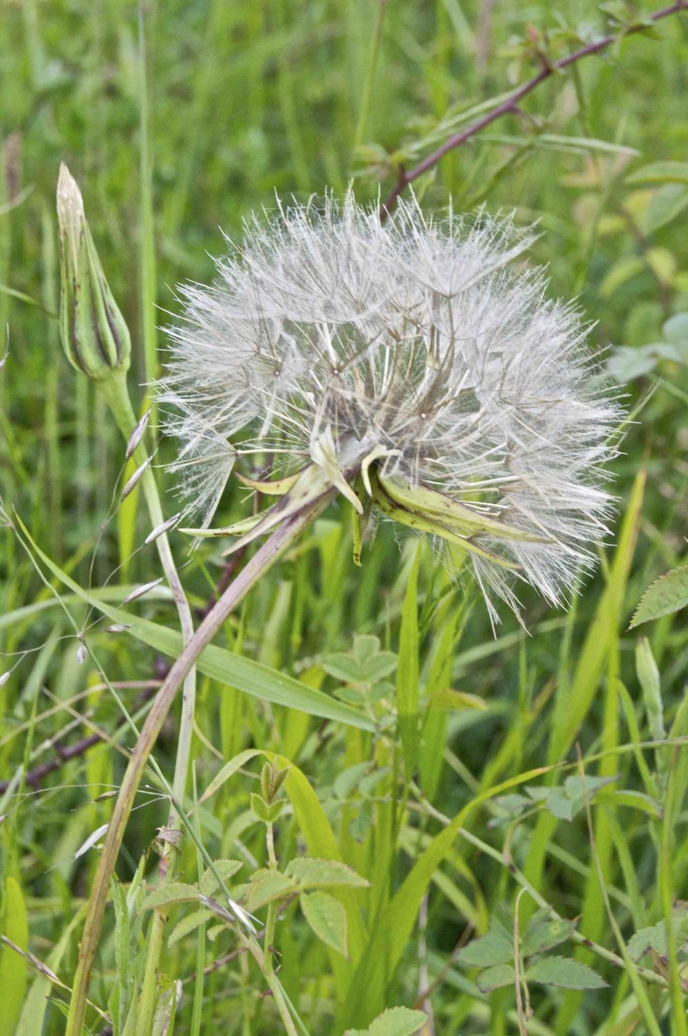 Dandelion seedhead (Taraxacum)