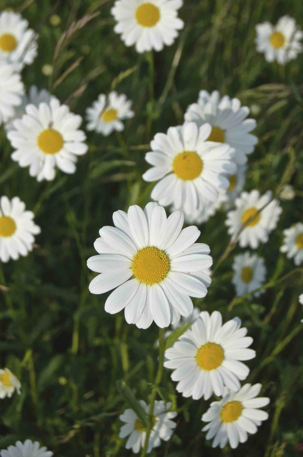 Oxe-eye daisy (Heliopsis)