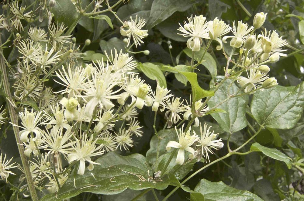 Wild clematis (Clematis)