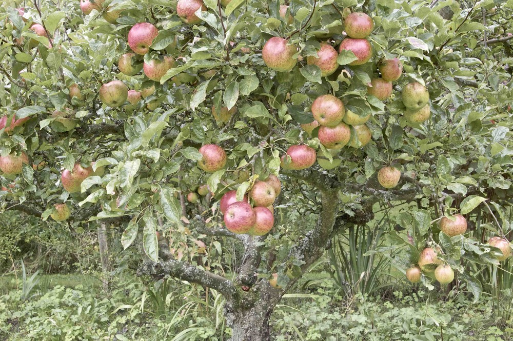 Apple Tree 1