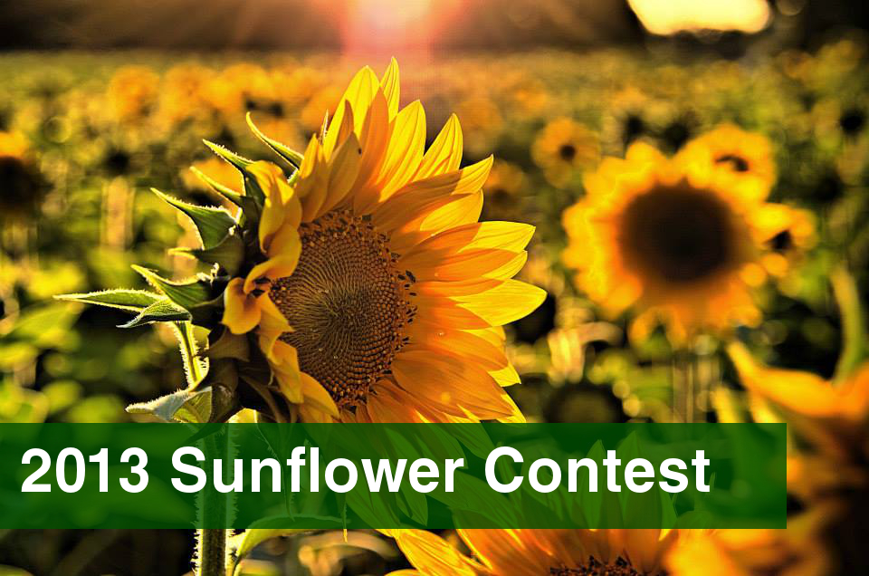 2013 Sunflower Contest Photo Gallery