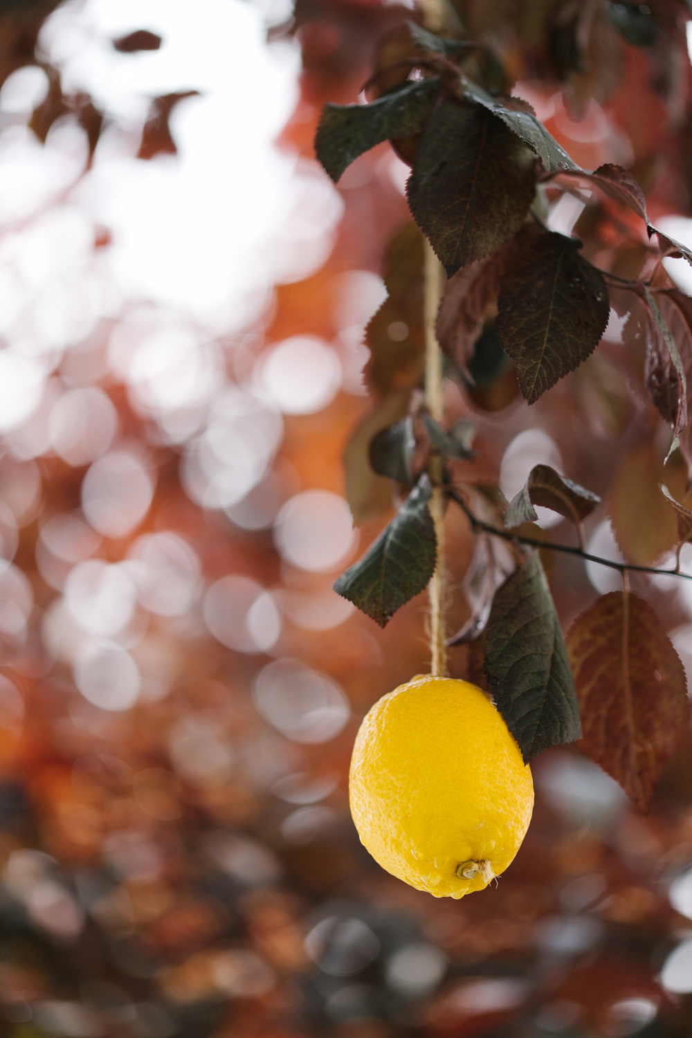 yellow hanging lemon.jpg