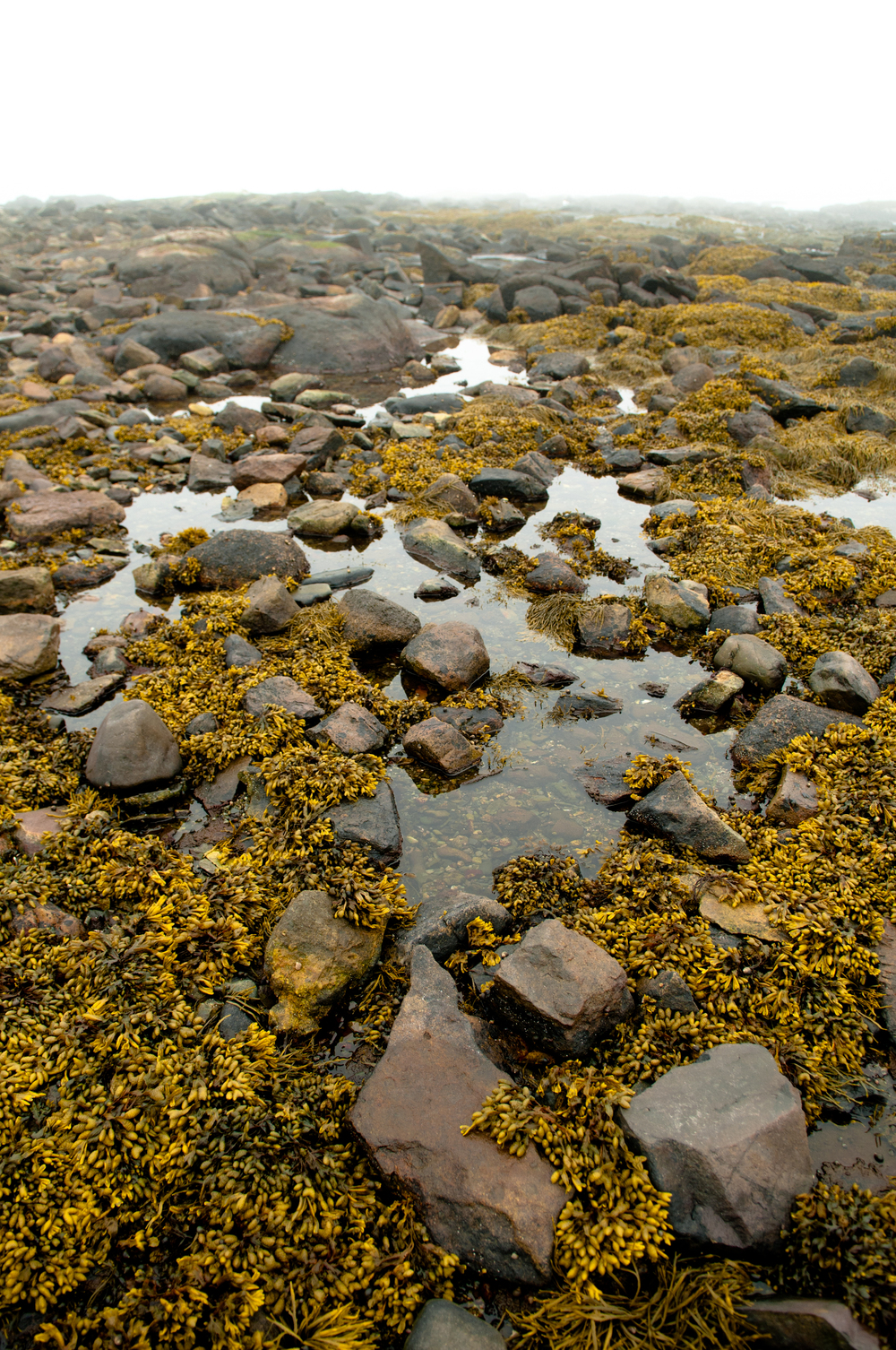 Maine_Low_Tide_6833R.jpg