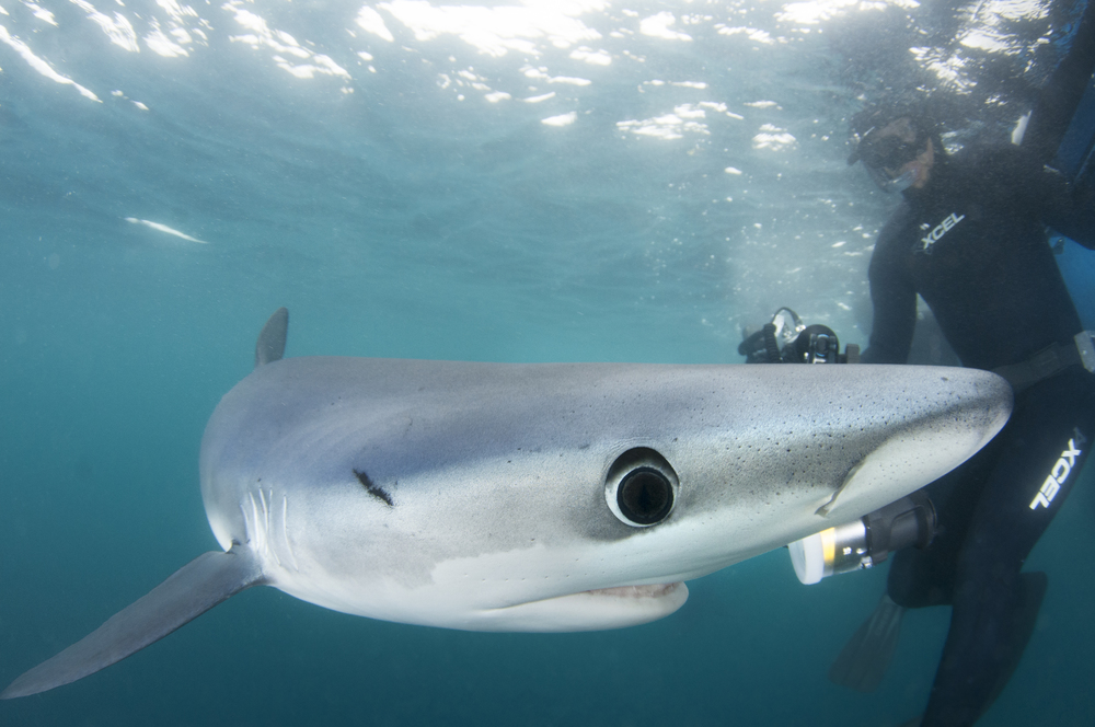 The blue sharks are naturally curious to the photographers and their cameras.