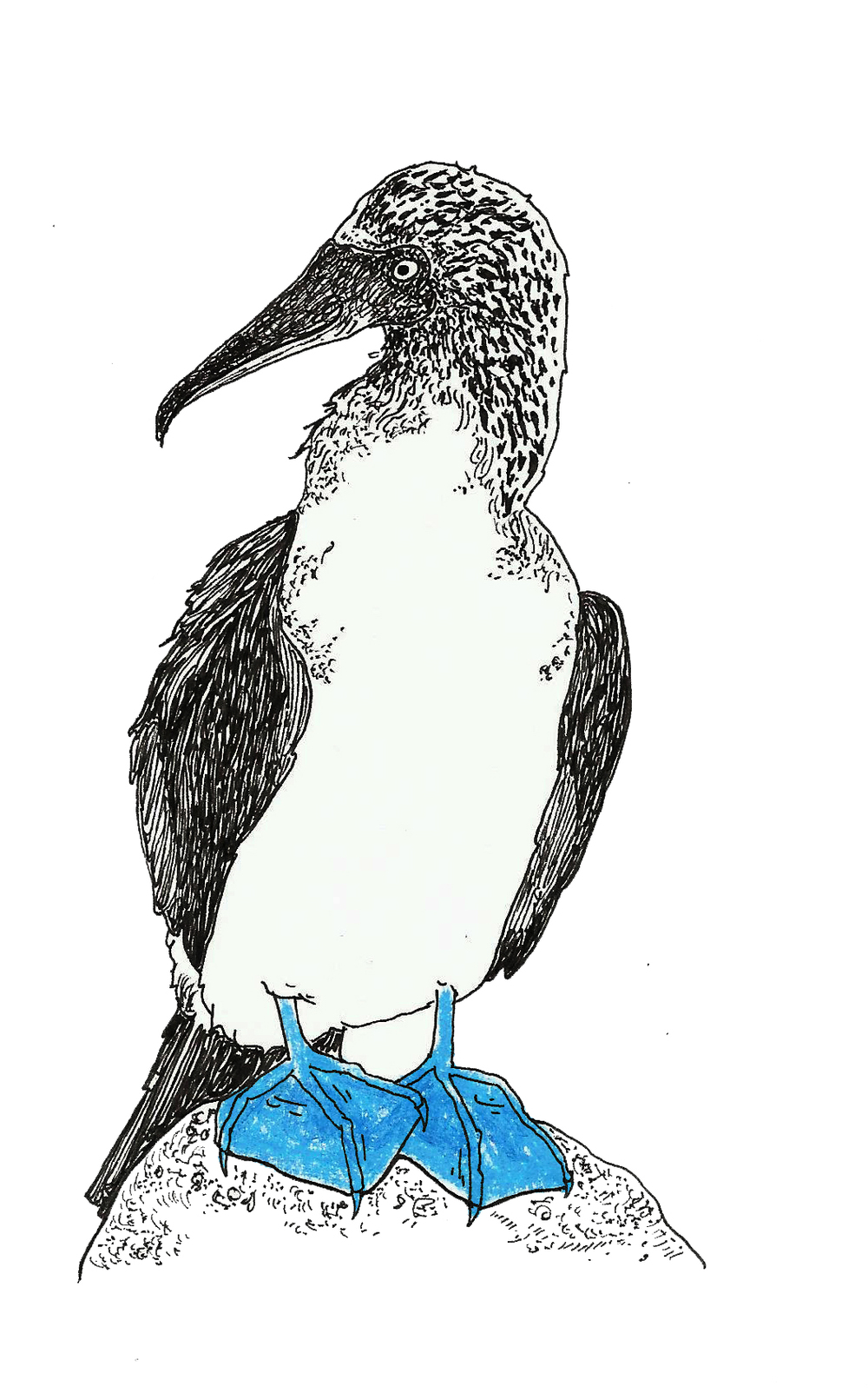 Blue Booby Bird.jpg