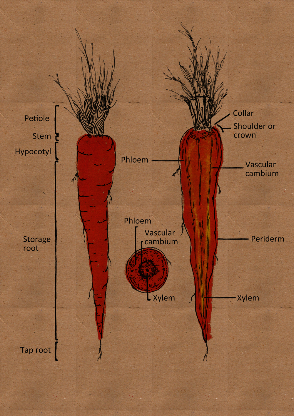 Carrot Parts labels text and brown.jpg