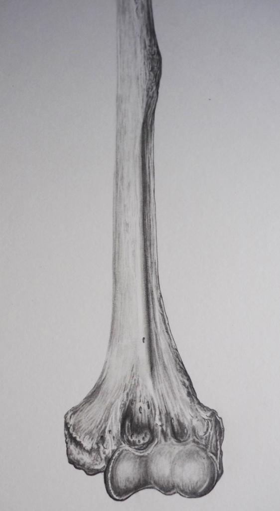 Humerus detail, graphite