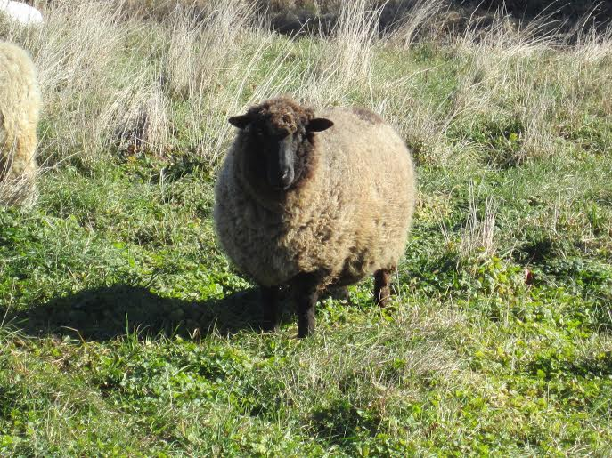 """The Boss"" a Romney ram provides us with the grey wool for Plain Yarn"