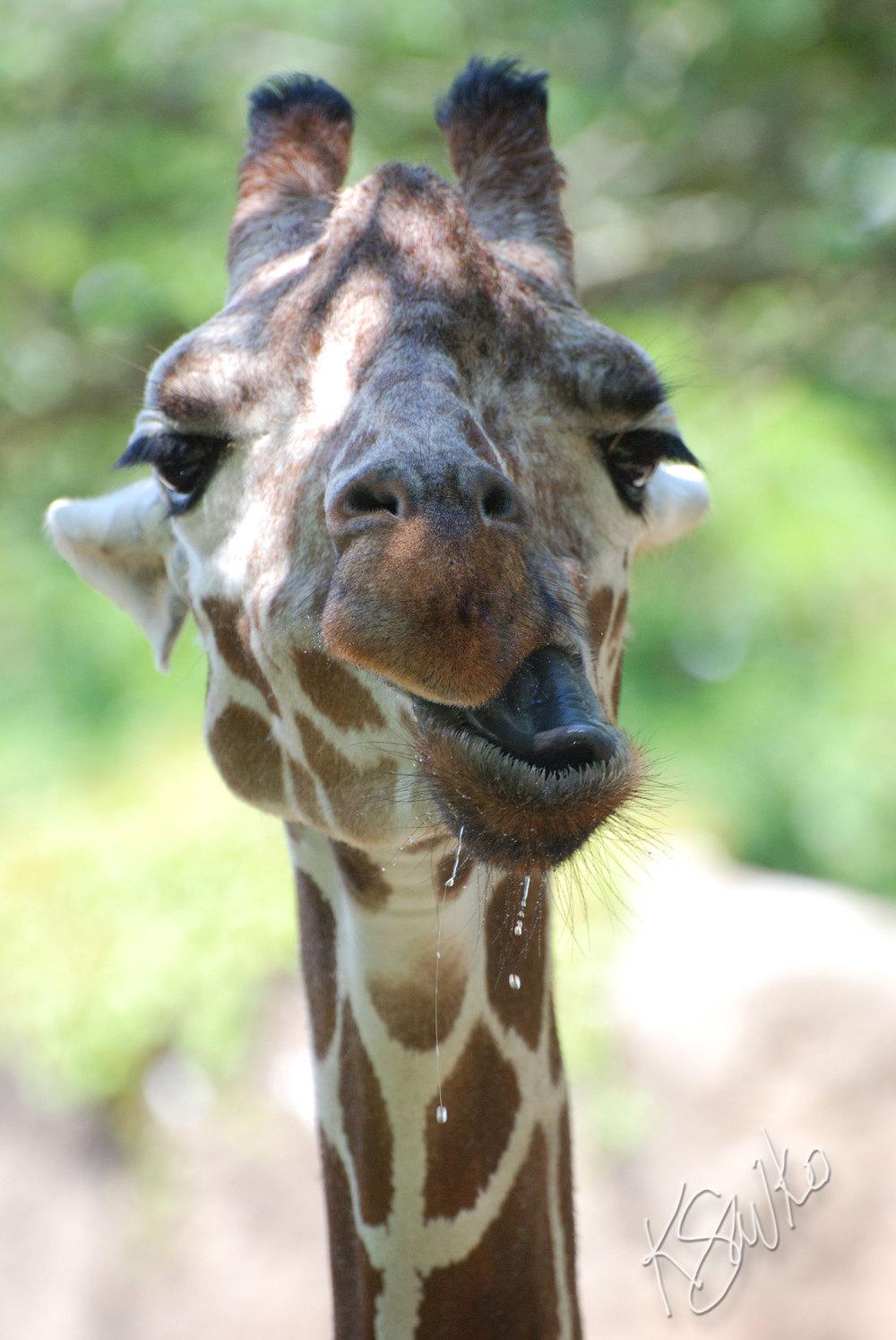 savko_giraffe.jpg