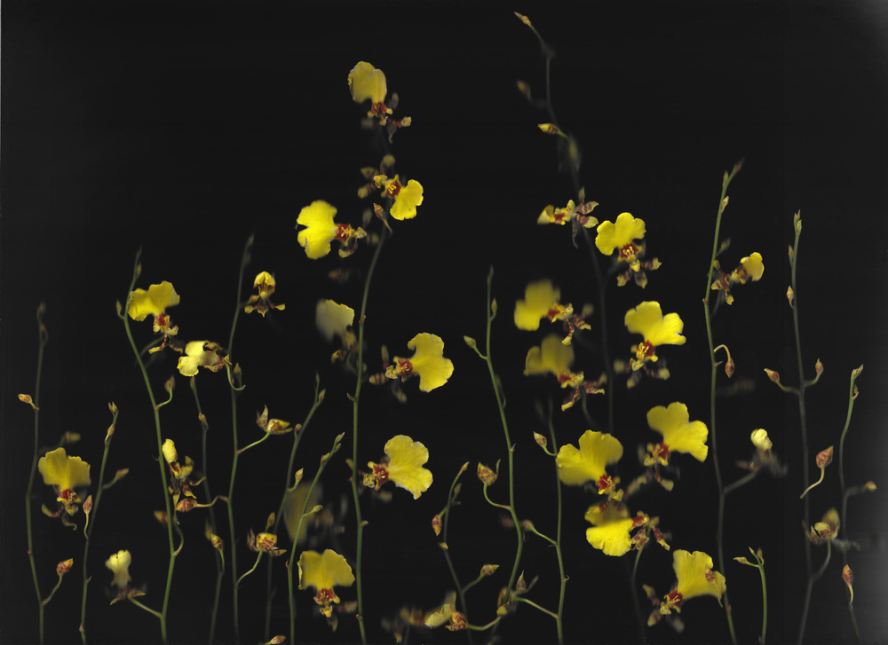 yellow orchids.jpg