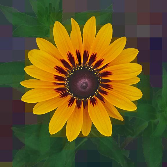 Black Eyed SusanSpSqb.jpg