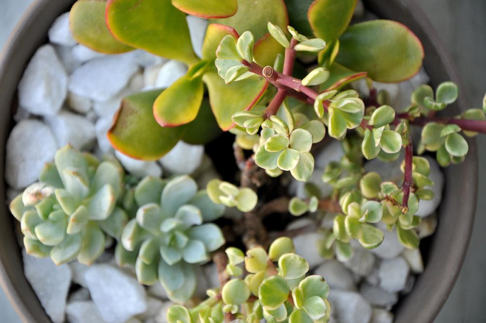 Succulent Centerpiece 6