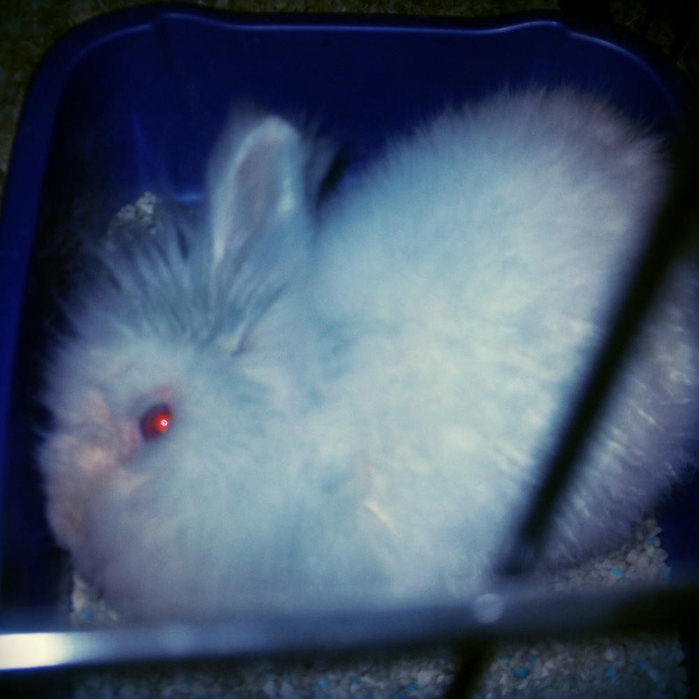 "My three-legged bunny rabbit ""Cotton"" in 2011"