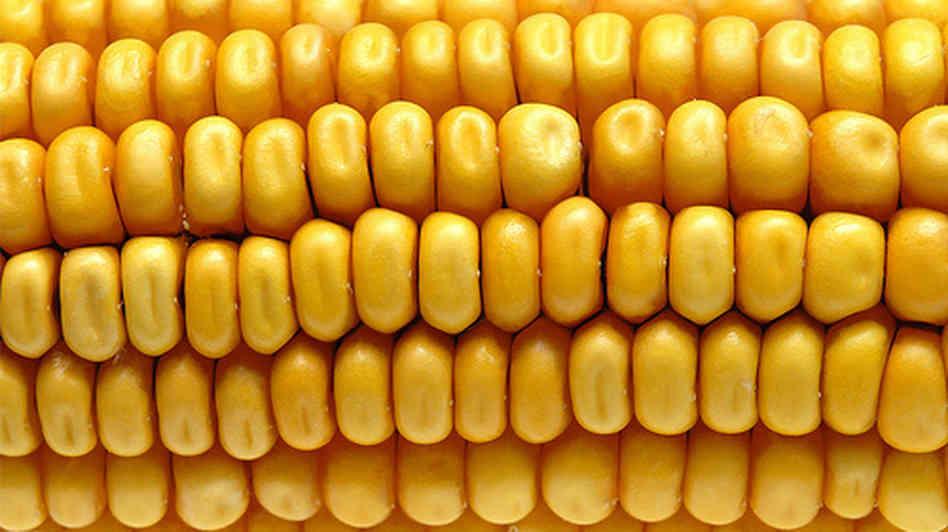 corn_wide-19abc141a549731537944a9422c0de8092924338-s6-c30.jpg