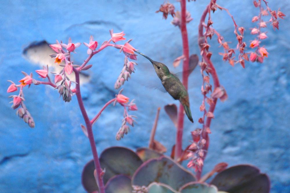 Peru - Hummingbird - DSC_0036.jpg