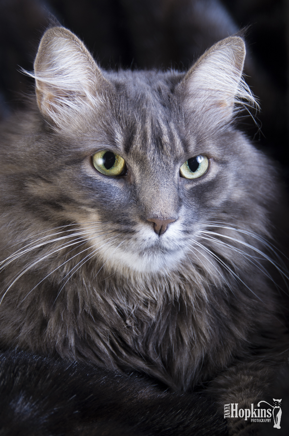 Grey_Maine_Coon.jpg