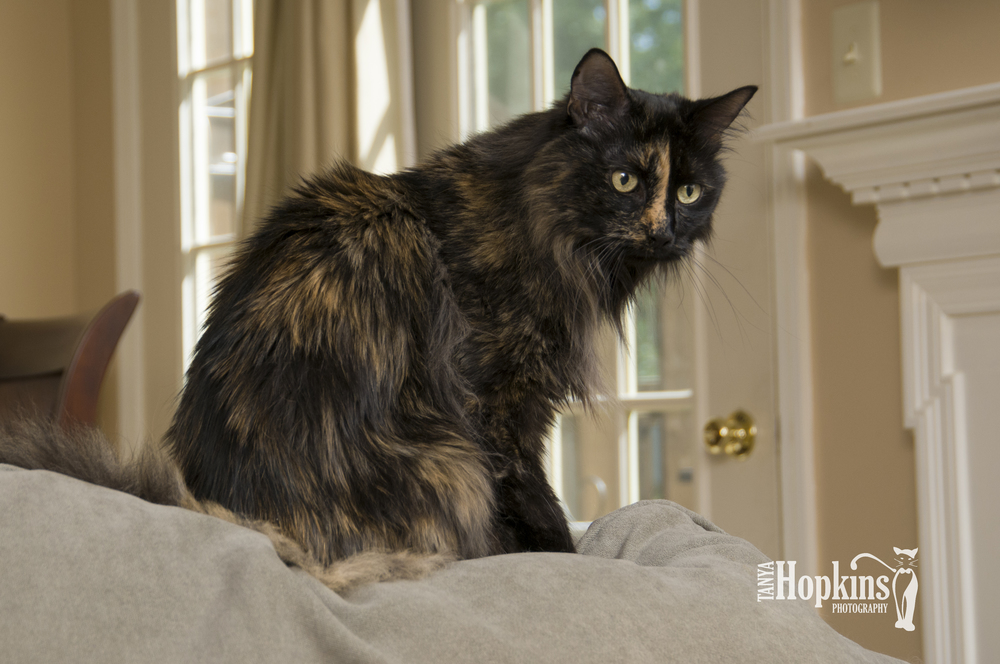 Long_Haired_Tortie.jpg