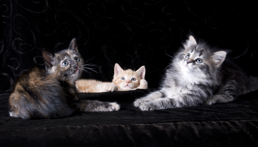 Beautiful Kitten Portraiture