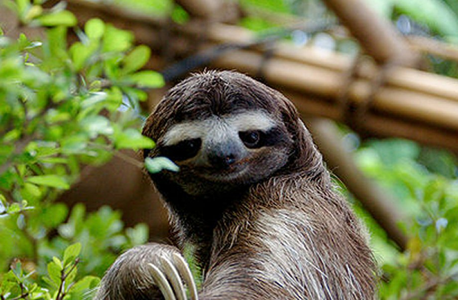 We knew that as soon as the word sloth was said, you expected a sloth. Pictured here is a sloth.