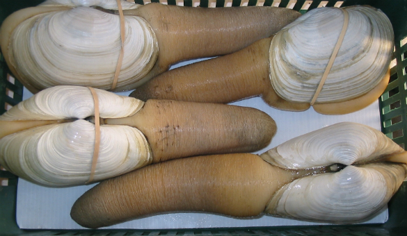 Fresh Geoduck from  Underground Eats