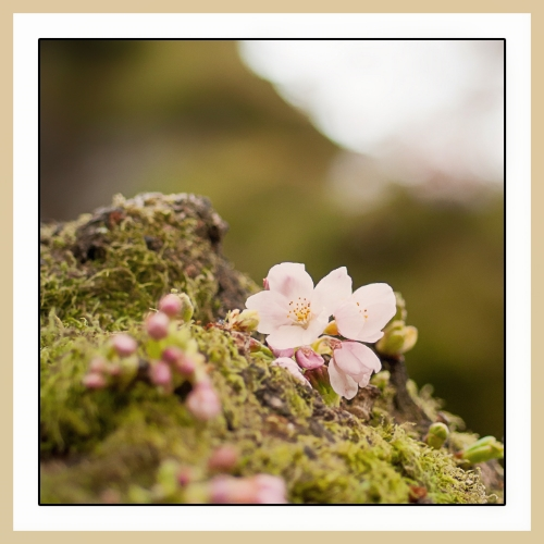Cherry Blossom on a moss tree by Kayako Sareen